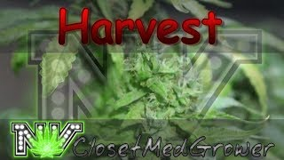 Harvest, Chem K day 57 by  NVClosetMedGrower