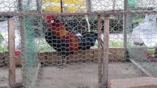 Trại Gà Rừng Việt chuyên cung cấp gà rừng giống các loại, gà rừng cảnh, gà rừng làm mồi và gà rừng thương phẩm trên toàn...