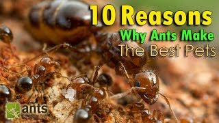 """Click here to SUBSCRIBE: https://goo.gl/tlCQJZThese are ten reasons why ants make the best pets! Do you have any more to add to the list?Visit us at http://www.antscanada.com CLOSE CAPTIONING """"CC"""" available for this video. Please feel free to contribute to translating/CCing this video into another language: http://www.youtube.com/timedtext_cs_panel?tab=2&c=UCONd1SNf3_QqjzjCVsURNuAA brand new video is uploaded on this channel every Saturday at 8AM EST (with frequent bonus videos) so be sure to SUBSCRIBE to the channel to catch every ant video we release! Thank you for the support.Thumbnail and photos in this video courtesy of Alex Wild Photography http://www.alexanderwild.com. List of Ant Equipment Used in this video:""""The Fire Nation"""" Solenopsis geminata Colony:•AC Outworlds https://goo.gl/SccvGn•AC Field & Forest Biome Kit https://goo.gl/2alaoo•AC Desert & Oasis Biome Kit https://goo.gl/0jXxr0•AC Rainforest Biome Kit https://goo.gl/13NSLj•Various AC Equipment https://goo.gl/oWs4Qs•Rubbermaid bin""""The Dark Knights"""" Paratrechina longicornis 3 queen polygynous colony:•AC Pogonomyrmex Hybrid Nest Gear Pack https://goo.gl/GSfpc7•AC Tetramorium Hybrid Nest https://goo.gl/atTkwn•AC Field & Forest Biome Kit https://goo.gl/2alaoo•AC Rainforest Biome Kit https://goo.gl/13NSLj""""The Golden Empire"""" Anoplolepis gracilipes 3 queen polygynous colony:•75 Gallon Planted Tank▶▶▶We've got new Ant T-shirts! Check them out here: https://goo.gl/PjnB7t▶▶▶Got a question about ants or AntsCanada? Visit our website FAQ: https://goo.gl/mJPEqn▶▶▶Want an ant farm? Check out our ant shop. We ship worldwide: http://goo.gl/I4l7Ho ▶▶▶Need to buy an ant colony for your ant farm, or do you have ant colonies to sell/give away? Find out more about our GAN Project: http://goo.gl/jzo9LcClick here to watch every video we have ever made: https://goo.gl/8zNkImFire Ant (Solenopsis geminata) playlist: https://goo.gl/Dlu7PZBlack Crazy Ant (Paratrechina longicornis) playlist: https://goo.gl/FsKLzKYellow Crazy Ant """