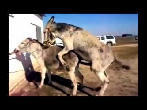 Donkeys Mating