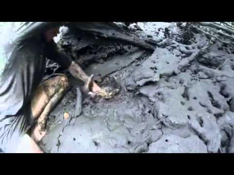 神人竟然在沼澤泥潭裡徒手抓了30隻巨螯蟹!完全不怕痛...