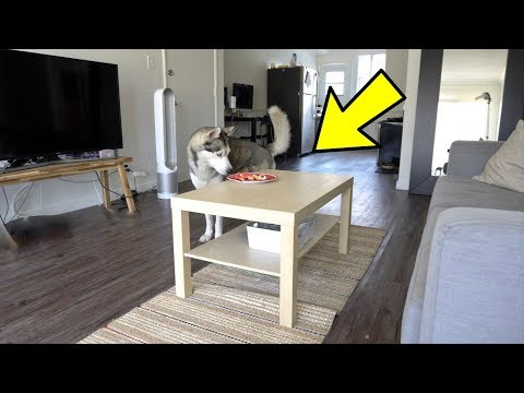 Will My Husky Steal Food Off The Table While I'm Away?