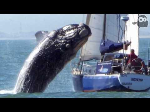 La balena contro lo yacht, il video contestato dubbi sull'originalità