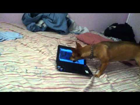 My Mexican chihuahua barking at dogs on Youtube