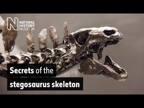 Studying the <i>Stegosaurus</i> skeleton