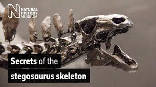 Studying the <i>Stegosaurus</i> skeleton