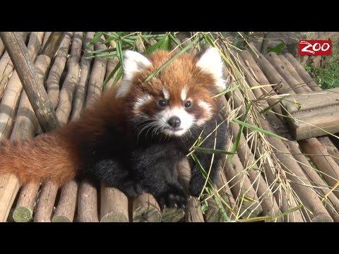 Red Panda Cubs Take a Walk Outside