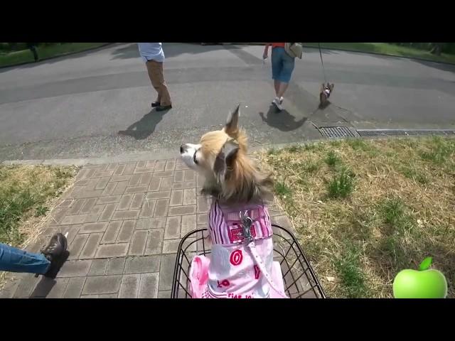 すぐキレるチワワ!知らない人は怖いナナちゃん!The chihuahua dog of which man is afraid