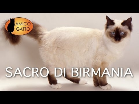 sacro di birmania - trailer documentario