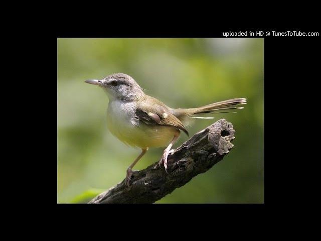 download suara kicau burung ciblek kebun 2 mp3fordfiesta
