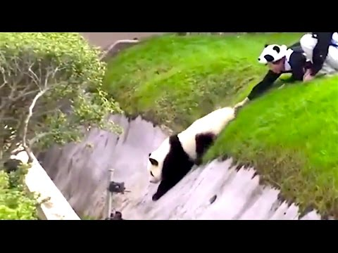 Ozzy Man Adds Commentary to Adorable Pandas