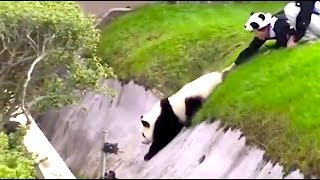 animale video cu panda