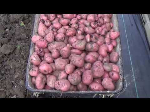 Square Foot Gardening:  Planting 03 Potatoes.Pt 2