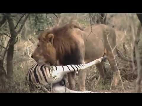 National Geographic Documentary   LION King at AFRICA   BBC Natgeo Wildlife Animals