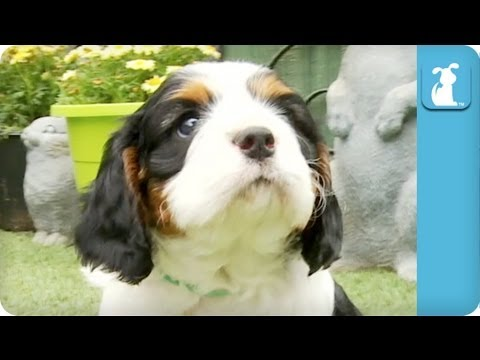 80 seconds of cavalier king charles spaniel puppies