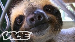 As soon as I heard about the Aviarios Del Caribe sloth sanctuary in Costa Rica I knew it would be perfect for the Cute Show.
