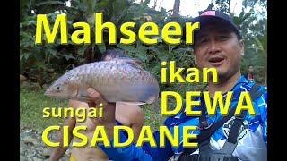 Video Mahseer, Ikan Dewa Sungai Cisadane yg Menghebohkan Pemancing MP3, 3GP, MP4, WEBM, AVI, FLV Juli 2018