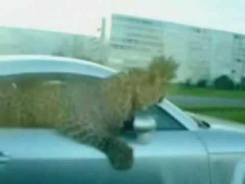Leopard hangs out of Russian Audi TT