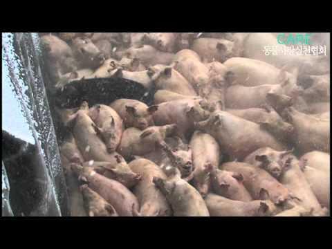「[グロ]口蹄疫のため生き埋めにされる韓国の豚の断末魔に胸が痛む。。」のイメージ