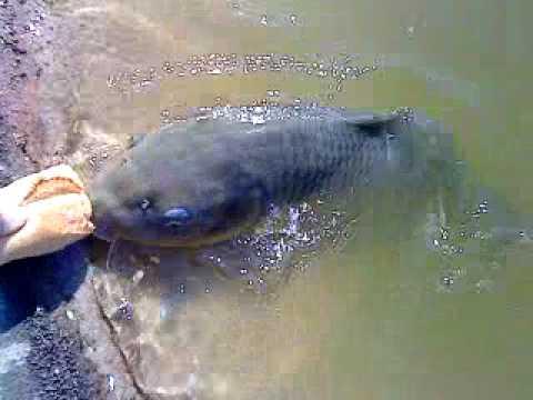 Massive Fish !