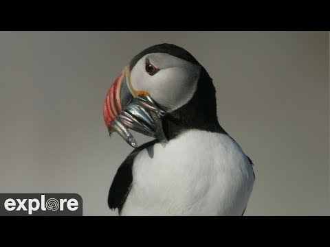 Vögel - Papageientaucher (Seal Island, Südafrika)