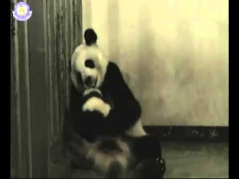 พัฒนาการลูกหมีแพนด้า 27/07/52