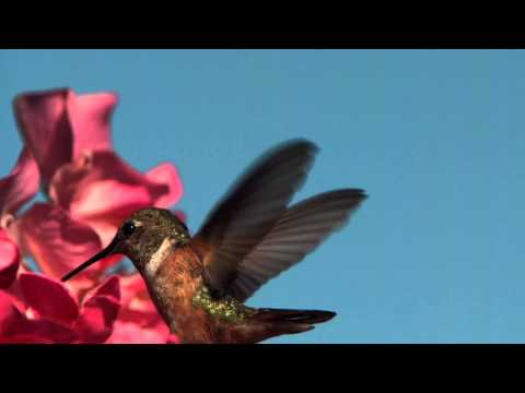 FLIGHT: The Genius of Birds – Hummingbird tongue