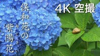 【絶景茨城】保和苑の紫陽花(あじさい)[4K]茨城県水戸市