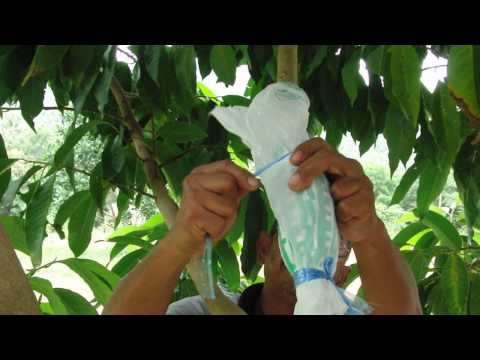 Propagating Michelia alba ดอกจำปี (White sandelwood) by Air layering in Koh Samui