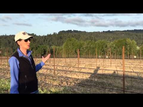 Planting Pinot Noir