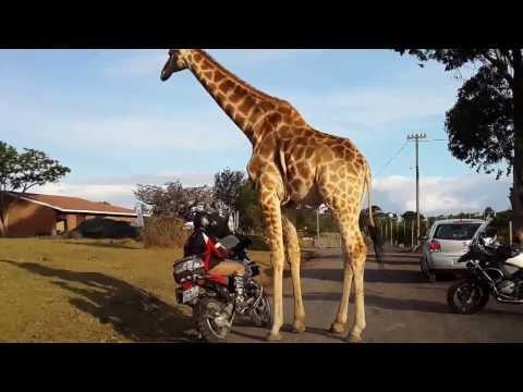 This giraffe really likes BMW R1150GS