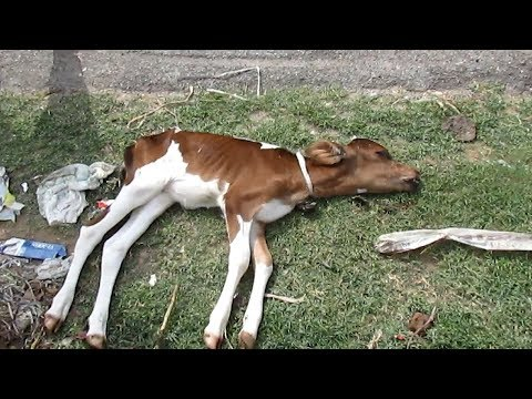 Abandoned dying baby calf now safe forever.