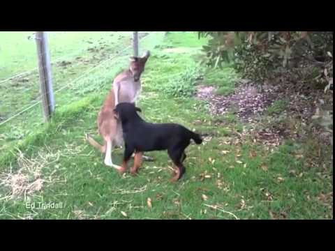 A Rottweiler Enjoys Some Affectionate Pets From His Kangaroo Buddy
