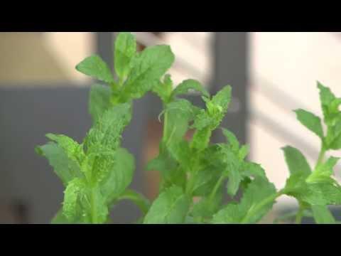 come coltivare menta sul balcone