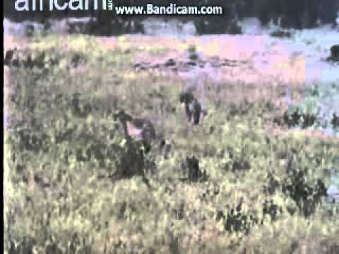 Gepárdok Nkorho Pan dec 5  16 óra 42p