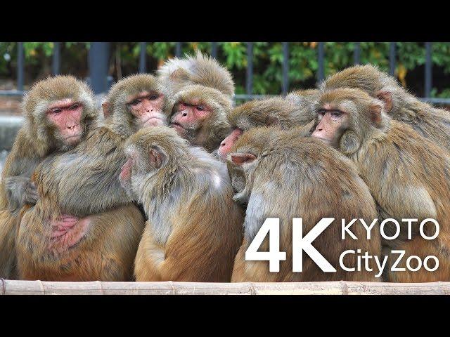 猿団子とカピバラ 京都市動物園 動画 4K Capybara and Monkeys Kyoto Japan FDR-AX100