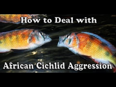 cichlid - Fish T-Shirts - http://africancichlidhub.com/products-page Website - http://africancichlidhub.com/ Facebook - https://www.facebook.com/bolly12345 Don't forge...