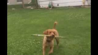 Cute Puppy Plays with Hula Hoop Video