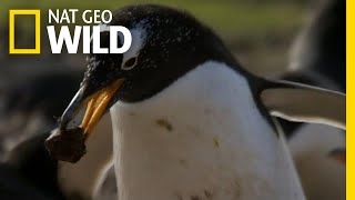 Penguin Love Story | Symphony For Our World by Nat Geo WILD