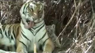 Tigress Julie (Living with Tigers) and 2 cubs in den site full download video download mp3 download music download