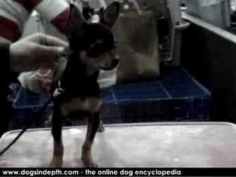 Chihuahua Shorthaired Tricolor Dog Movie