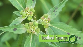 This week's Weed of the Week is toothed spurge. Brian and Darren Hefty provide ways to identify and control this weed on your farm.