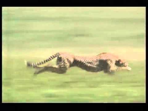 A gepárd vadászat közben alap