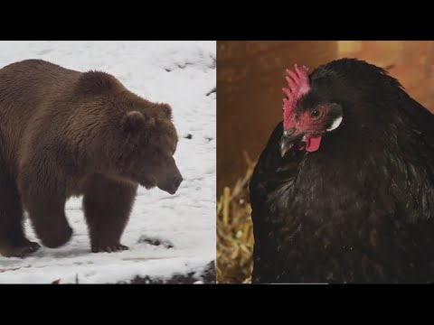 Chicken wins election to become president of Alaska Zoo