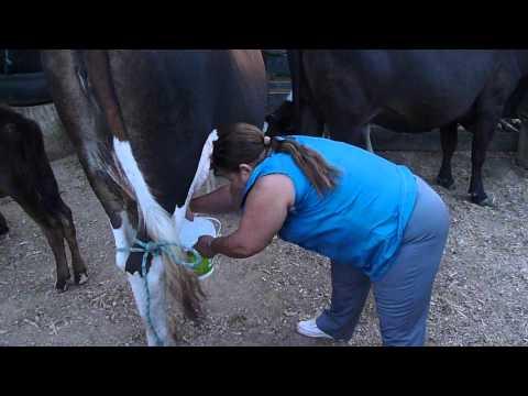Sexta-feira 13 - Coracy em Orizona tirando leite inacreditável-julho/2012