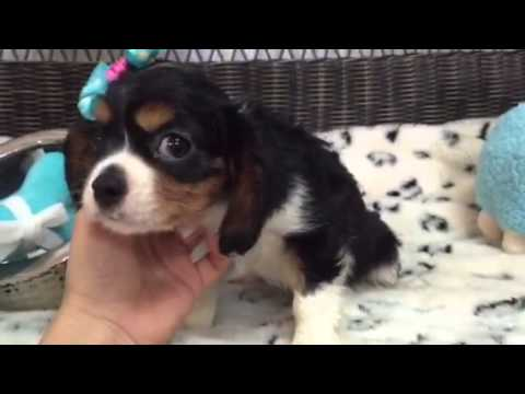 Sweetheart, Tri color Cavalier female