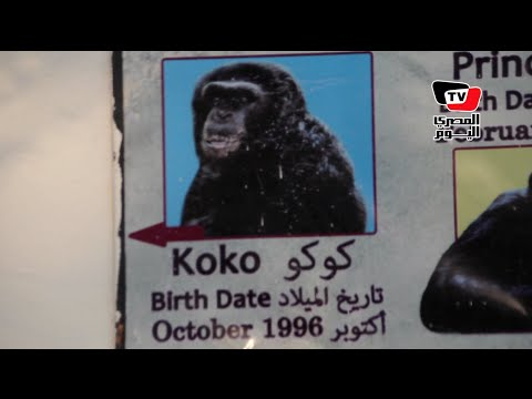 فى اليوم العالمى للحيوان البرى.. حديقة الحيوان تفقد الشمبانزى «موزة»