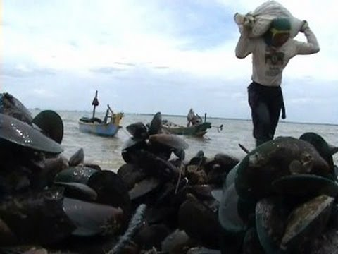 How to farm green mussel?