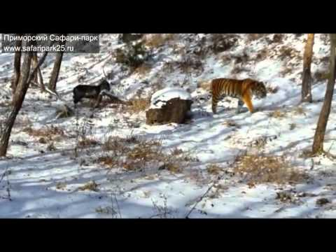 Siberian Tiger Befriends His Lunch After Fearless Goat Shows Him Who's The Boss