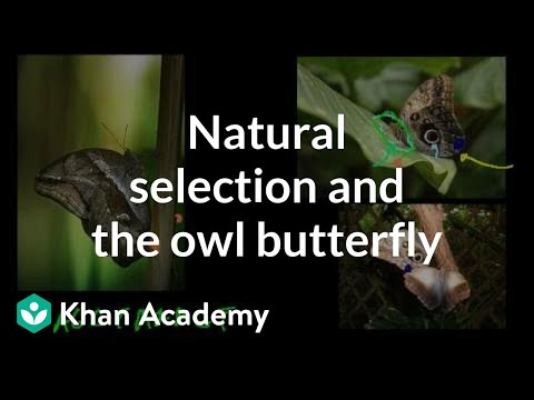 Natural Selection And The Owl Butterfly